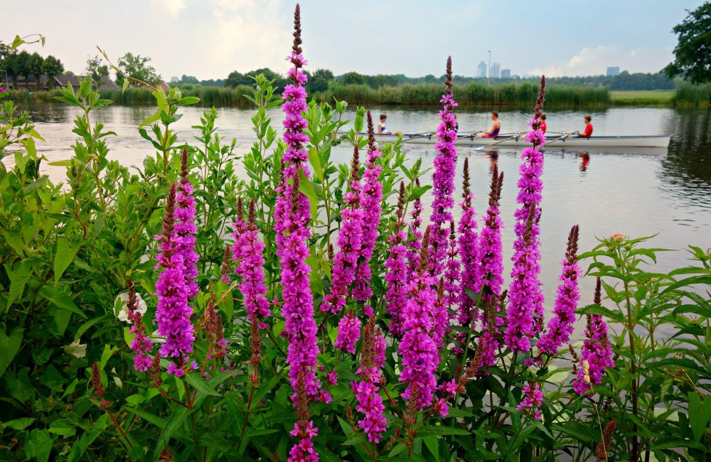 purple-loosestrife-1485894_1920